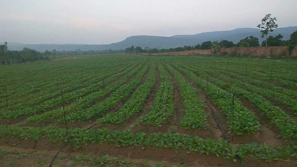 柬埔寨绿祥农业联系电话0972529655-0978901555